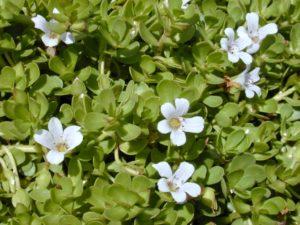 Bacopa Monrieri una planta con muchos beneficios