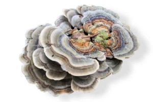 cola de pavo turkey tail
