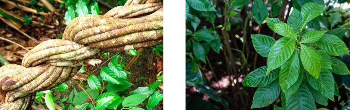 Banisteriopsis caapi Psychotria viridis
